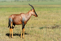 Topi Antelope Stock Photos
