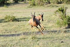 A Topi antelope bouncing near a bush Stock Photography