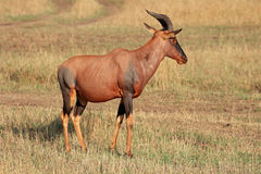 Topi antelope Stock Photo