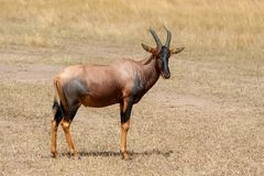Topi Antelope Damaliscus Lunatus Royalty Free Stock Photography