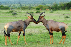 Topi Antelope Royalty Free Stock Photo