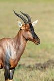 Topi Antelope Stock Photo