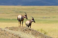 Topi Antelope (Damaliscus lunatus) Stock Photography