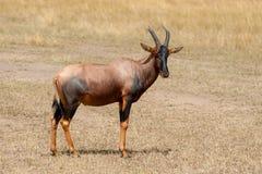 Topi Antelope Damaliscus lunatus Royalty Free Stock Photography