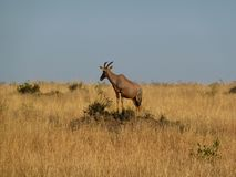 Topi Antelope Damaliscus lunatus royalty free stock photo