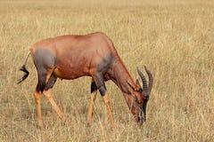 Topi antelope grazing Royalty Free Stock Photos