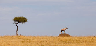 Topi Antelope on guard Royalty Free Stock Photo