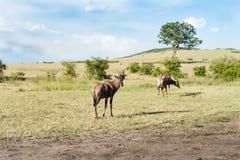 Topi antelope Royalty Free Stock Photo