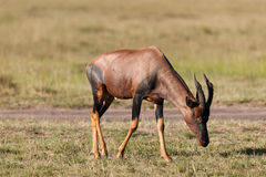 Topi antelope Stock Images