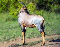Topi antelope, Masai Mara, Kenya Stock Image