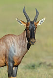 Topi antelope Stock Images
