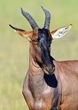Topi antelope Royalty Free Stock Images