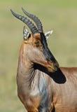 Topi antelope. In Masai Mara National Park. Kenya Royalty Free Stock Photos