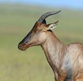 Topi antelope royalty free stock image