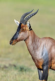 Topi antelope Royalty Free Stock Photos