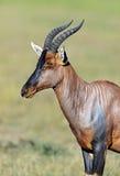 Topi antelope Royalty Free Stock Photos
