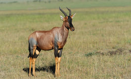 Topi Antelope Royalty Free Stock Images