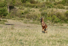A Topi antelope running on the grassland Royalty Free Stock Photo