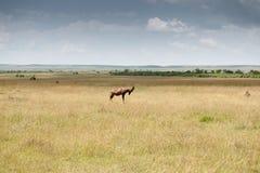 Topi antelope Stock Image