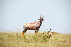 Topi antelope Royalty Free Stock Photography
