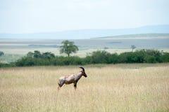 Topi antelope Stock Photography