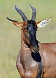 Topi antelope in the savannah royalty free stock photos