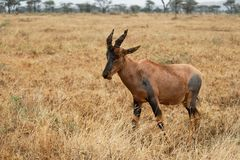 Topi Antelope in the savannah, Serengeti National Park, Tanzania stock photo