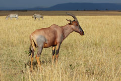 Topi antelope and zebras Stock Photography