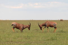 The Topi antelopes. Fighting the Topi antelope in African savannah Stock Photos