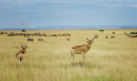 A topi Antilope in Masai Mara Game reserve in Kenya, Africa Stock Image