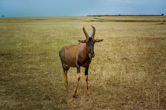 A topi Antilope in Masai Mara Game reserve in Kenya, Africa Royalty Free Stock Photography
