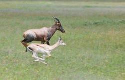 Topi contro il gazelle della concessione Immagine Stock