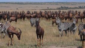 Topi, damaliscus korrigum, Grant`s Zebra, Group in Savannah, Masai Mara Park in Kenya,