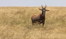 Topi, Damaliscus lunatus, in tall grass of the savannah royalty free stock photos