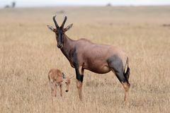 Topi e vitello della madre Fotografia Stock Libera da Diritti