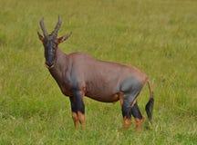 Topi em Kenya Fotografia de Stock Royalty Free