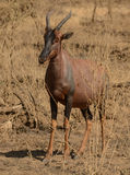 Topi en la sabana, África Foto de archivo libre de regalías