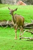 Topi fêmea na grama Imagem de Stock
