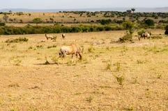 Topi grazing in the savannah of Masai Mara Park royalty free stock photos