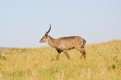 Topi has a slow gait in the savanna Stock Photos