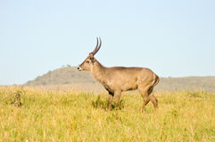 Topi has a slow gait in the savanna Stock Image