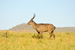 Topi has a slow gait in the savanna Royalty Free Stock Photo