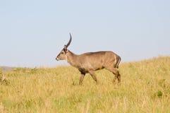 Topi heeft een langzame gang in de savanne Stock Foto's