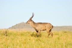 Topi heeft een langzame gang in de savanne Stock Afbeelding