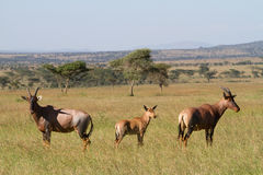 Topi herd Royalty Free Stock Image