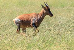 A Topi on the run in the Serengeti royalty free stock photos