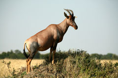 Topi (Kenya) Stock Photo