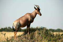 Topi (Kenya) Stock Photo