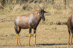 TOPI male standing in the Kenyan the savanna on a sunny Stock Image