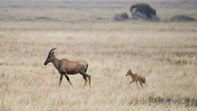 Topi mother walking in grass with calf behind her Royalty Free Stock Image